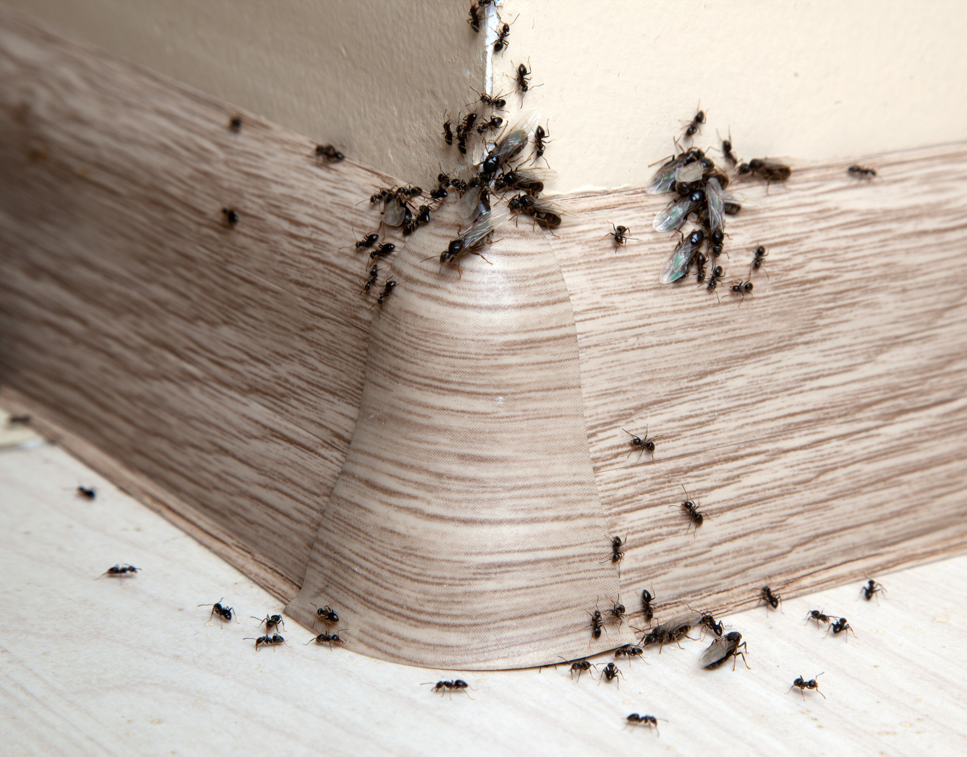 Ant Infestation, Pest Control in Leatherhead, Oxshott, Fetcham, KT22. Call Now 020 8166 9746