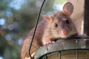 Rat extermination, Pest Control in Leatherhead, Oxshott, Fetcham, KT22. Call Now 020 8166 9746