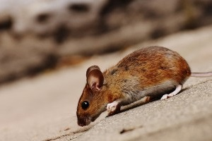 Mice Exterminator, Pest Control in Leatherhead, Oxshott, Fetcham, KT22. Call Now 020 8166 9746