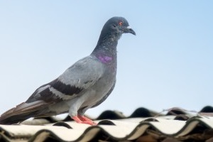 Pigeon Pest, Pest Control in Leatherhead, Oxshott, Fetcham, KT22. Call Now 020 8166 9746